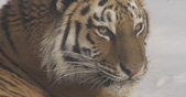 Internationaler Tag des Tigers Teaser-Bild